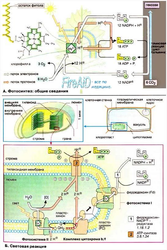 Синтез ( регенерация ) АТФ. Получение энергии в процессе фотосинтеза. Бактерии фототрофы. Реакции фотосинтеза. Стадии фотосинтеза.