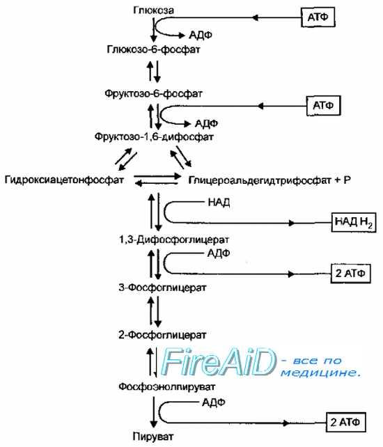 Катаболизм углеводов у бактерий. Гликолиз. Гликолитический путь окисления. Путь Эмбдена-Мейерхофа-Парнаса.